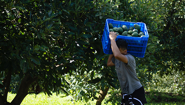 Avocado farmer carrying a box of avocados in the field