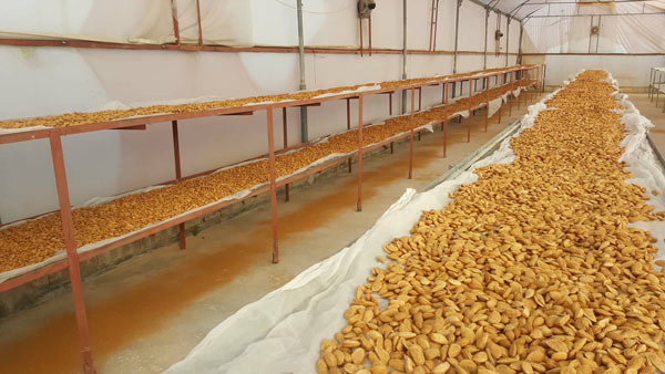 Almonds Drying