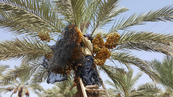 Dates before harvest