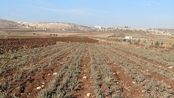 Thyme growing near Jenin
