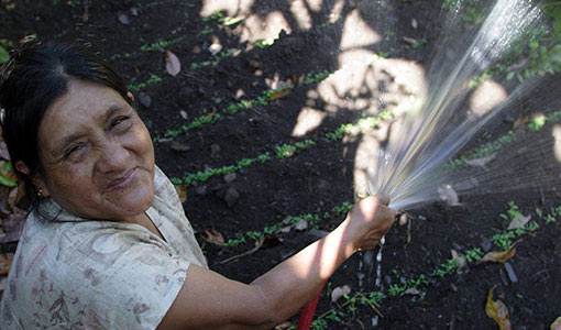 Watering Coffee Seedlings