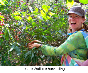 Marie Wallace harvesting