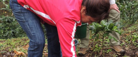 fertilizing coffee plants