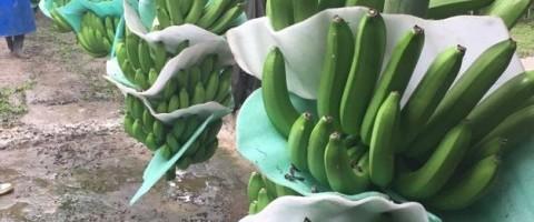 bananas coop guabo