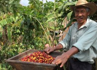 Don Chico with freshly harvested cherries preparing to mill