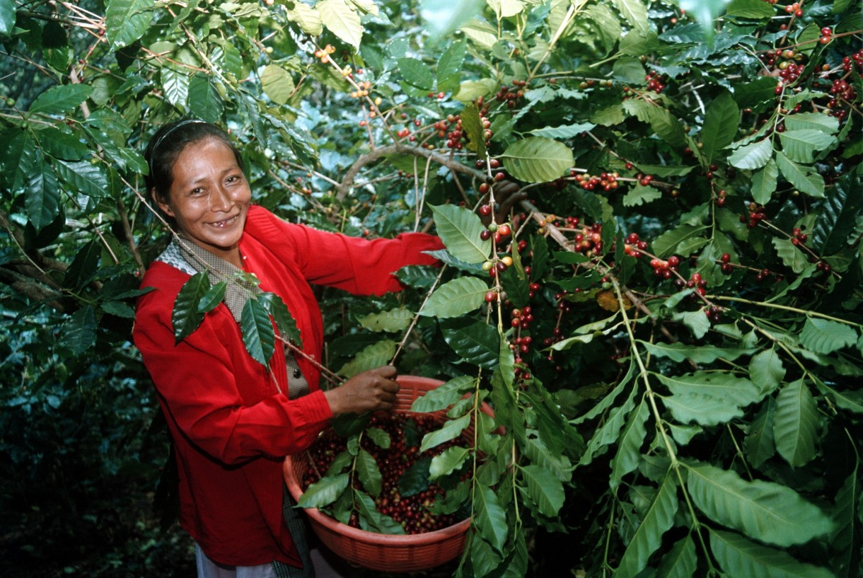 How coffee is grown 71
