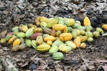 Cacao Pod Pile