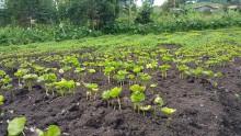 coffee seedlings nursery