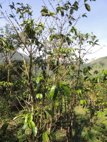 sick coffee tree