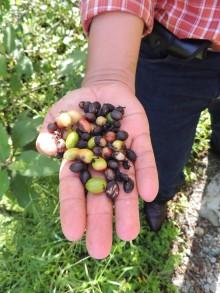 coffee trees