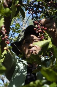 Organic Coffee Farmer Harvests Cherries