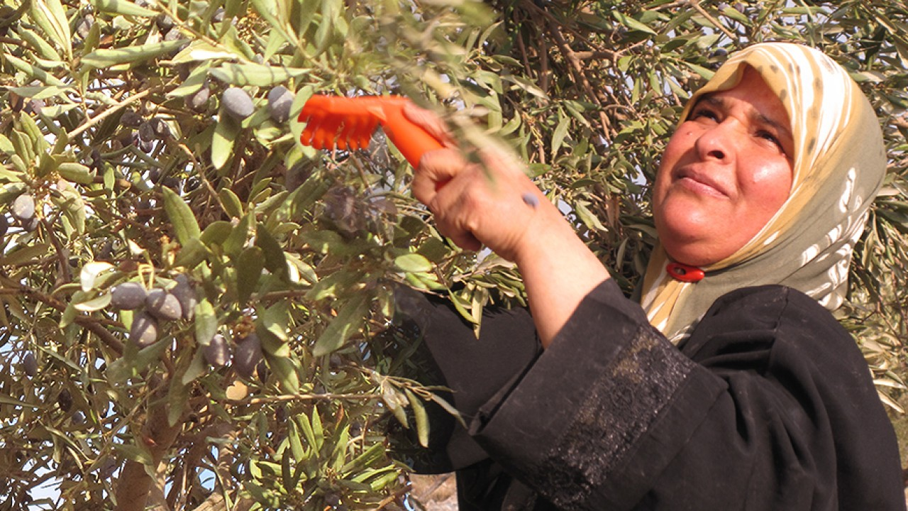 Basila Issa, member of Al Zawyeh Co-op