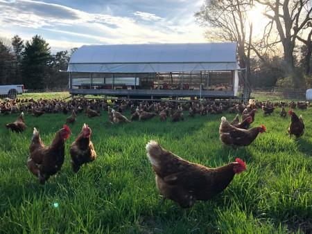 Chickens in field on local farm