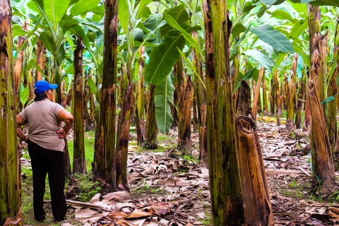 Banana producer